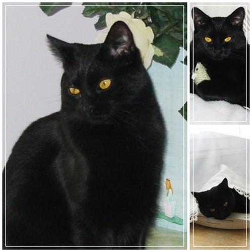 Photo de Chipie, jolie petite chatte noire