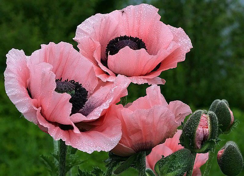 samedi 29 avril   Coquelicots-roses