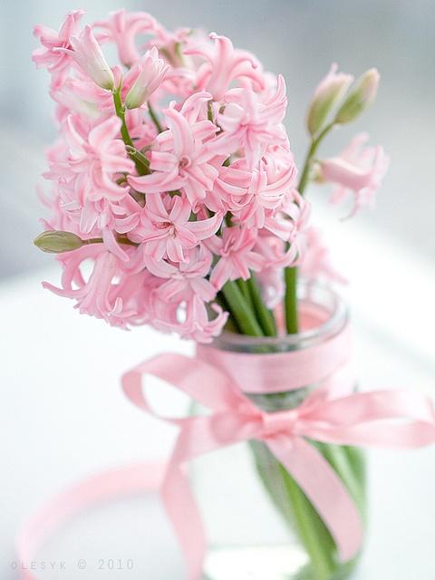 Jacinthes roses